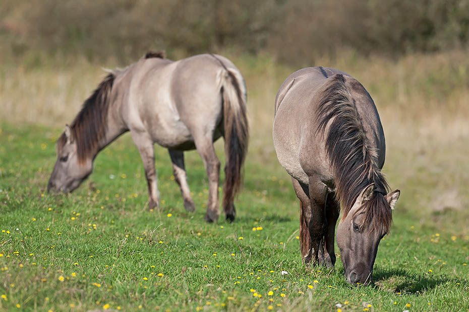 Konikhengst und Stute aesen auf einer Salzgraswiese - (Waldtarpan - Rueckzuechtung), Equus ferus caballus, Heck Horse stallion and mare graze on a salt meadow - (Tarpan - breed back)