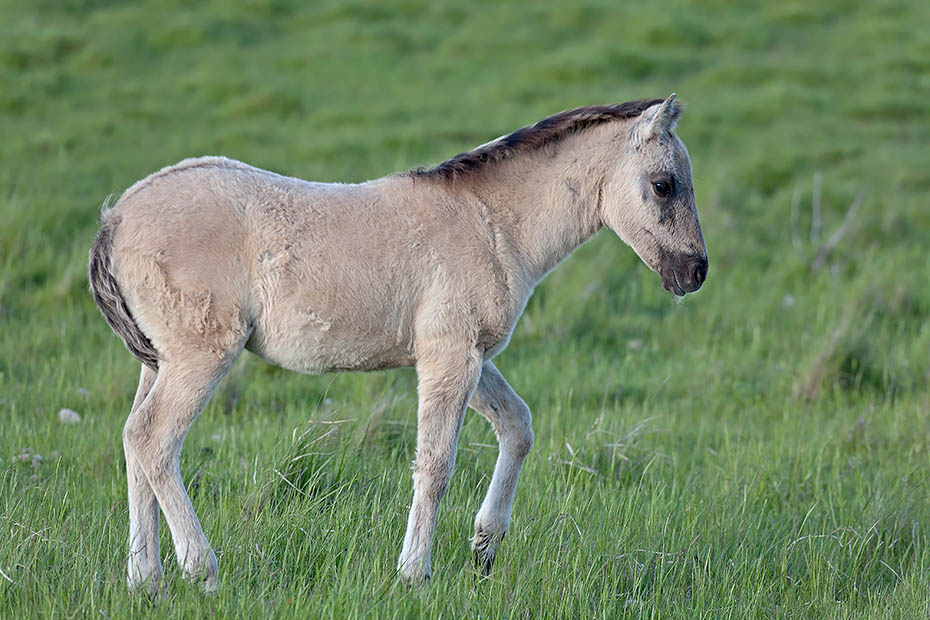 Konikfohlen spielt auf einer Salzgraswiese - (Waldtarpan - Rueckzuechtung), Equus ferus caballus - Equus ferus ferus, Heck Horse foal play on a salt meadow - (Tarpan - breed back)