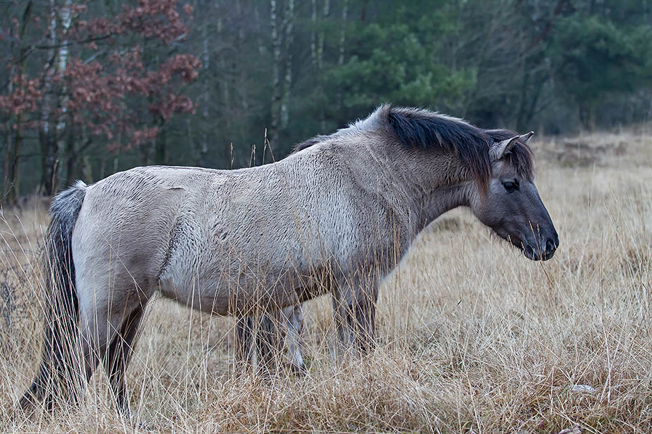 Konikstute am Rand eines Duenenwaldes - (Waldtarpan - Rueckzuechtung), Equus ferus caballus - Equus ferus ferus, Heck Horse mare at the shore of a dune forest - (Tarpan - breed back)