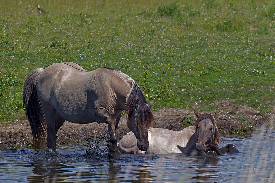 Konikhengst und Stute nehmen ein erfrischendes Bad - (Waldtarpan - Rueckzuechtung), Equus ferus caballus - Equus ferus ferus, Heck Horse stallion and mare take a refreshing bath - (Tarpan - breed back)