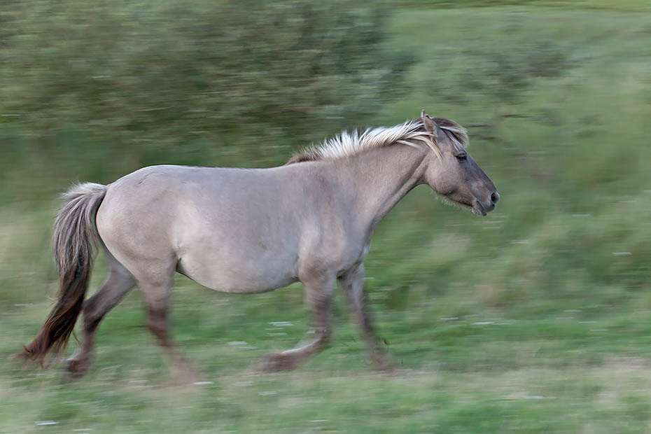 Konikstute galoppiert ueber eine Salzgraswiese - (Waldtarpan - Rueckzuechtung), Equus ferus caballus, Heck Horse mare gallops over a salt meadow - (Tarpan - breed back)