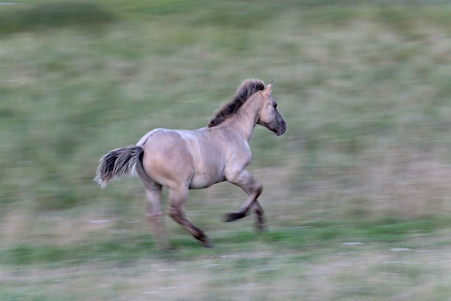 Konikfohlen galoppiert ueber eine Salzgraswiese - (Waldtarpan - Rueckzuechtung), Equus ferus caballus, Heck Horse foal gallops over a salt meadow - (Tarpan - breed back)