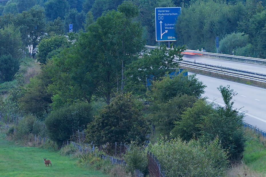 Ricke aest an einer Autobahn neben einem Wildschutzzaun - (Reh - Europaeisches Reh), Capreolus capreolus, Roe Deer doe eats on a highway between a game fence  - (European Roe Deer - Western Roe Deer)