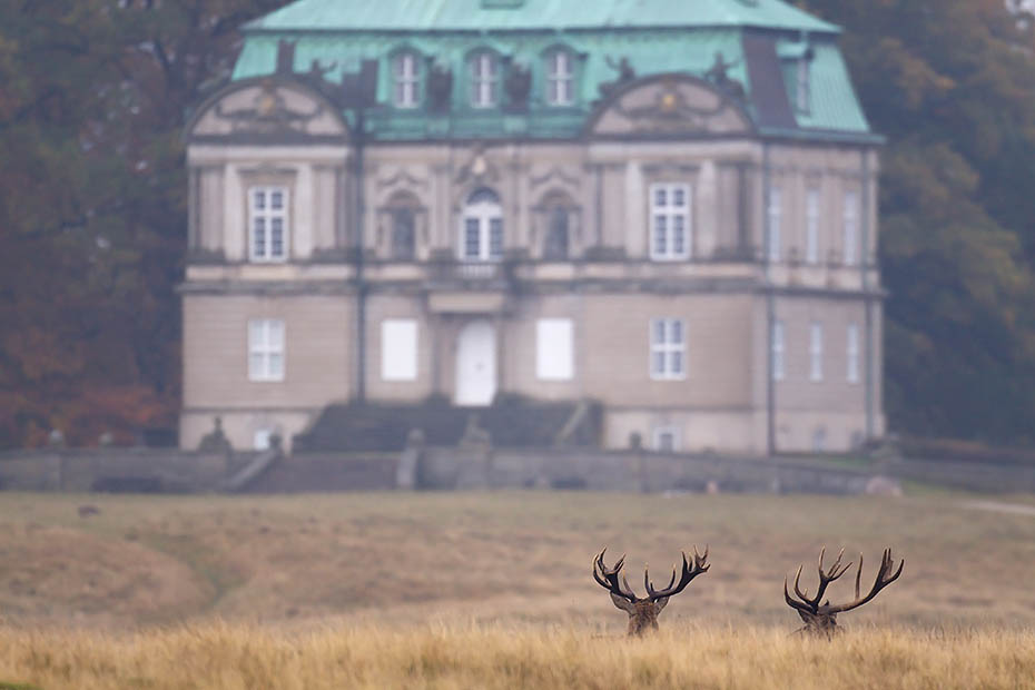Rothirsche vor einem Jagdschloss, Eremitage  -  Jaegersborg, Red Deer stags in front of a hunting lodge