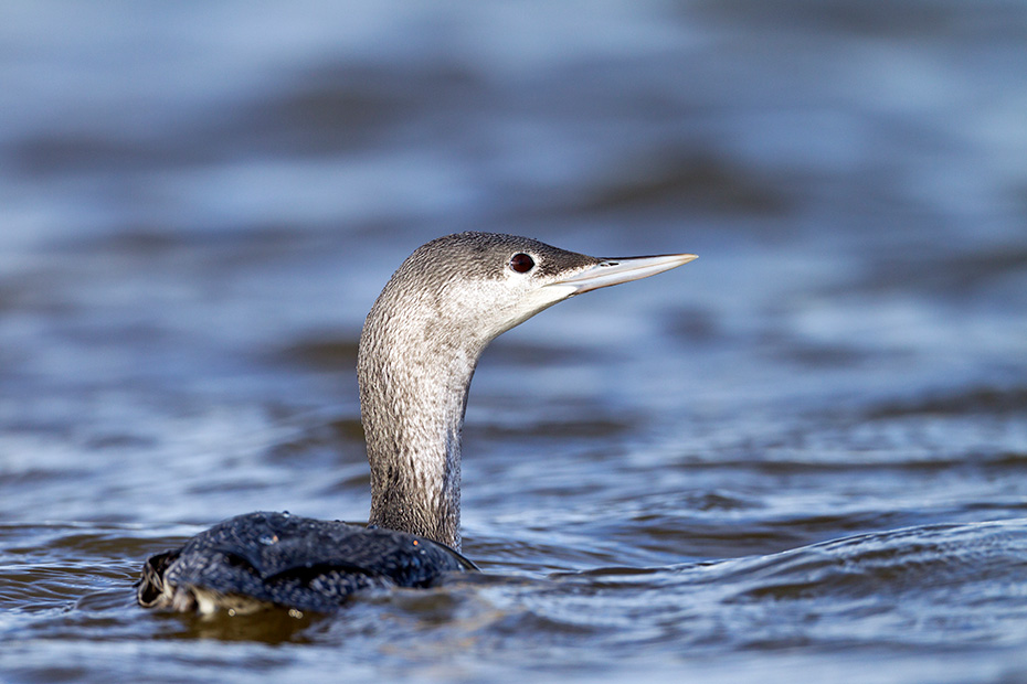 Sterntaucher ueberwintern an den Kuesten der Noerdlichen Erdhalbkugel  -  (Foto Sterntaucher im Ruhekleid), Gavia stellata, Red-throated Diver usually winters in northern coastal waters  -  (Red-throated Loon  -  Photo Red-thoated Diver in nonbreeding plumage)