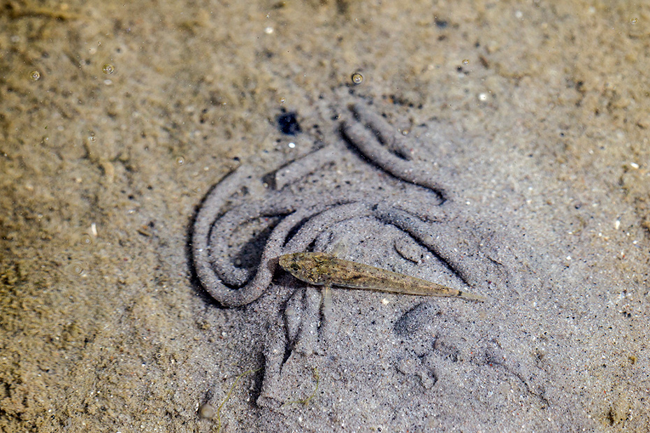 Strandgrundel, das Verbreitungsgebiet sind die Kuesten des Nordatlantik von Norwegen bis Marokko und Mauretanien sowie die Kuesten der Ostsee  -  (Foto Strandgrundel an der Nordseekueste), Pomatoschistus microps, Common Goby is found on the Atlantic coasts from Norway to Marocco and Mauretania and on the coasts of the Baltic Sea  -  (Photo Common Goby on the German North Sea coast)