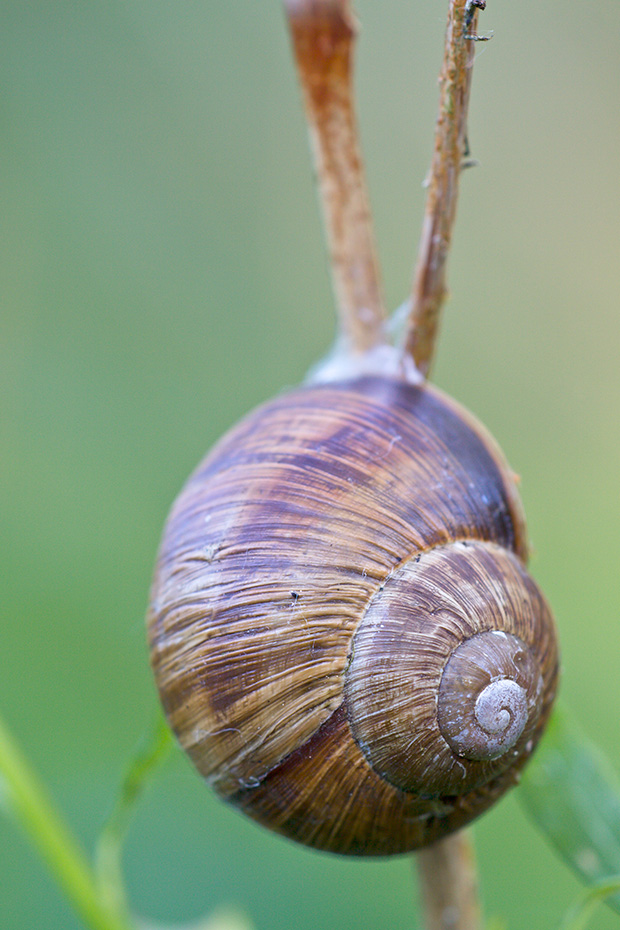 Weinbergschnecken haben eine geringe Fortpflanzungsrate  -  (Foto Weinbergschnecke in Ruhestellung), Helix pomatia, Burgundy Snail has a low reproduction rate  -  (Roman Snail - Photo Burgundy Snail in resting position)