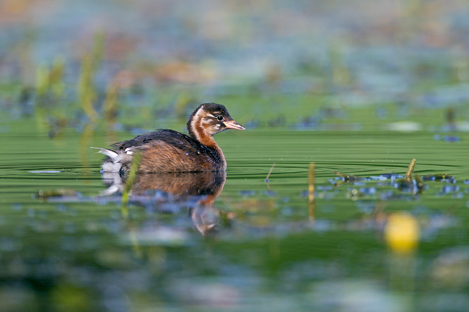 Zwergtaucher, das Weibchen legt 4 - 7 Eier  -  (Foto Zwergtaucher fluegger Jungvogel im Jugendkleid), Tachybaptus ruficollis, Little Grebe, the female lays 4 to 7 eggs  -  (Dabchick  -  Photo Little Grebe in juvenile plumage)
