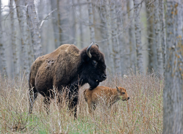 Amerikanische Bisonkuh mit sehr jungem Kalb - (Indianerbueffel - Bueffel), Bison bison - Bison bison (bison), American Bison cow with very young calf - (American Buffalo - Plains Bison)