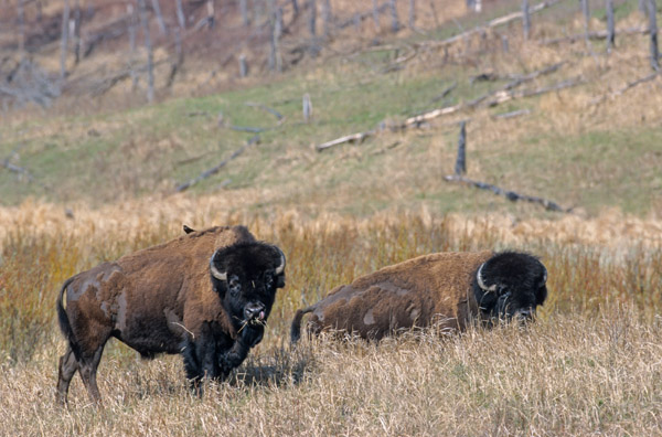 Amerikanischer Bisonbulle mit Braunkopf-Kuhstaerling auf der Schulter - (Indianerbueffel - Bueffel), Bison bison - Bison bison (bison) & Molothrus ater, American Bison bull with Brown-headed Cowbird on his shoulder - (American Buffalo - Plains Bison)