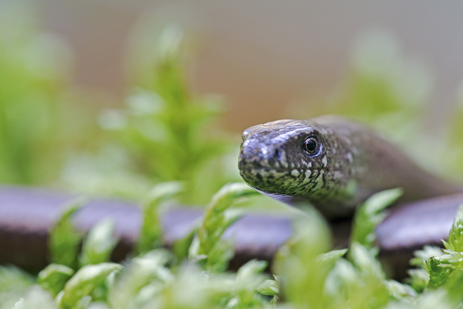 Blindschleichen gehoeren zu den am laengsten lebenden Eidechsen  -  (Foto Blindschleiche Portraet), Anguis fragilis, Deaf Adder is one of the longest-living lizards  -  (Slowworm - Photo Deaf Adder portrait)