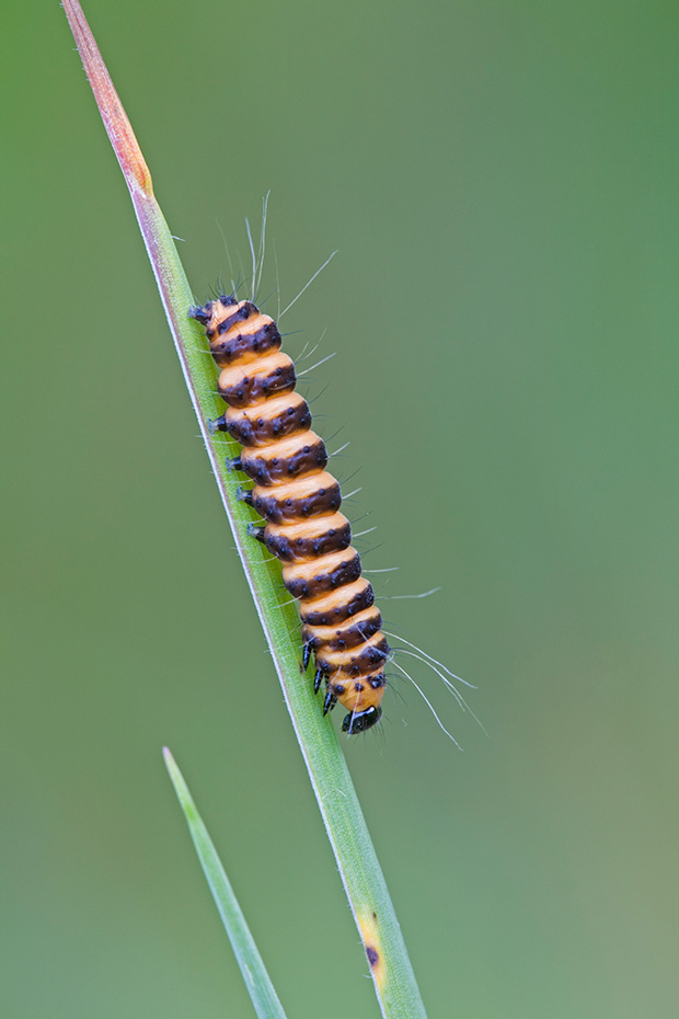 Blutbaer, die wichtigste Futterplanze fuer die Raupen ist das giftige Jakobs-Greiskraut  -  (Jakobskrautbaer - Foto Raupe), Tyria jacobaea, Cinnabar Moth, the caterpillars can turn cannibalistic  -  (Photo caterpillar)