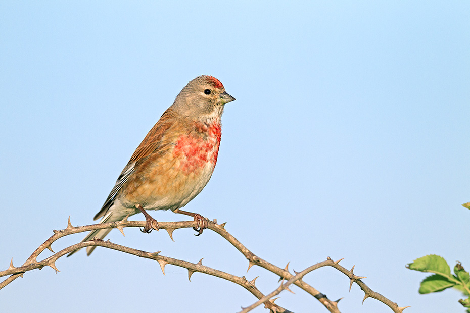 Bluthaenfling ist ein Brutvogel in Europa, Westasien und Nordafrika  -  (Flachsfink - Foto Bluthaenfling Maennchen im Brutkleid), Linaria cannabina, Common Linnet breeds in Europe, western Asia and north Africa  -  (Linnet - Photo Common Linnet male in breeding plumage)