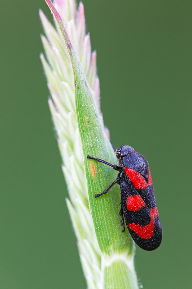 Gemeine Blutzikade erreicht eine maximale Laenge von 1cm, Cercopis vulnerata, Black-and-Red Froghopper, the maximum size is 10,5mm