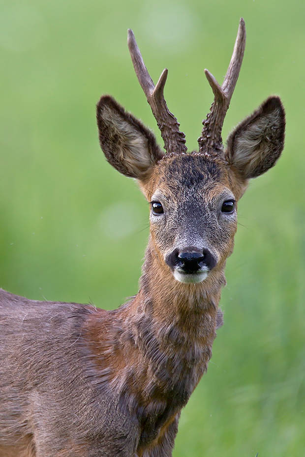 Rehbock  12 - Der Zutrauliche ein Jahr spaeter, Capreolus capreolus, Roebuck  12 - The Trustfully one year later
