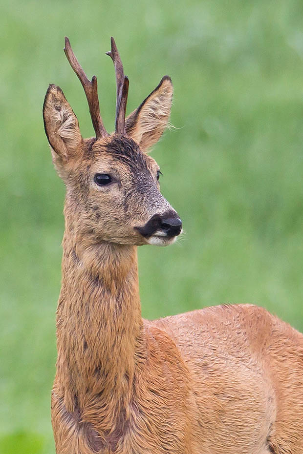 Rehbock  15 - Ein sehr alter Bock fotografiert im selben Gebiet wie Bock 13 und 14 ein Jahr spaeter, Capreolus capreolus, Roebuck  15 - A very old Roebuck photographed at the same area like buck 13 and 14 one year later