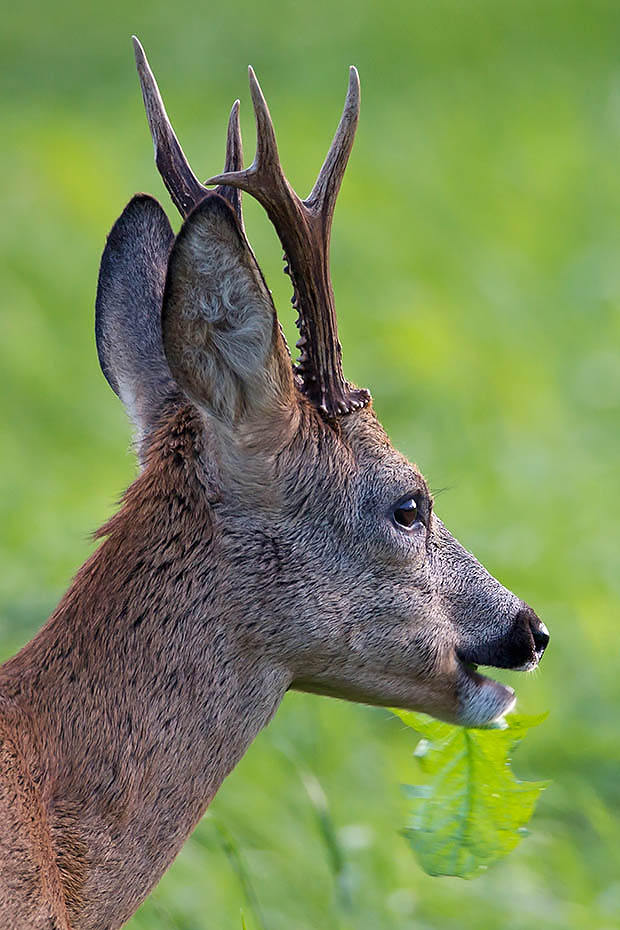 Rehbock  19 - Der Sehr Vorsichtige war am Anfang nicht zu ueberlisten, das aenderte sich zum Glueck, Capreolus capreolus, Roebuck  19 - The Very Cautious was at the beginning not to cheat, this altered fortunality