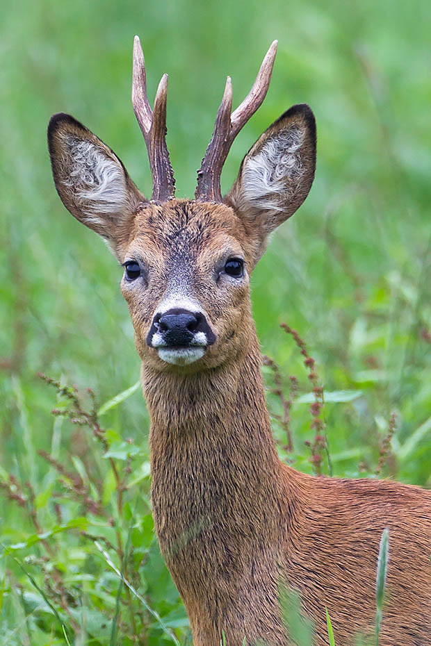 Rehbock  25 - Der Alt Aussehende ein Jahr spaeter, Capreolus capreolus, Roebuck  25 - The Old Looking one year later