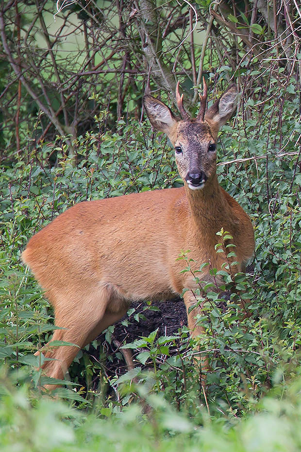 Rehbock  31 - Jung oder Alt ich weiss es nicht, Capreolus capreolus, Roebuck  31 - Old or Young I don´t know