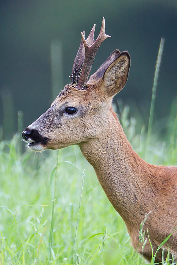 Rehbock  50 - Mit interessantem Gehoern, Capreolus capreolus, Roebuck  50 - With interesting trophy