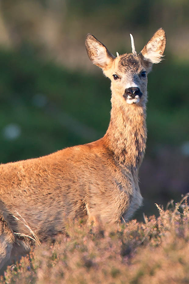 Rehbock  72 - Jaehrling in der Heide der unter starkem Druck einer hohen Rotwildpopulation steht, Capreolus capreolus, Roebuck  72 - Yearling in heath who stands under pressure of a high Red Deer population