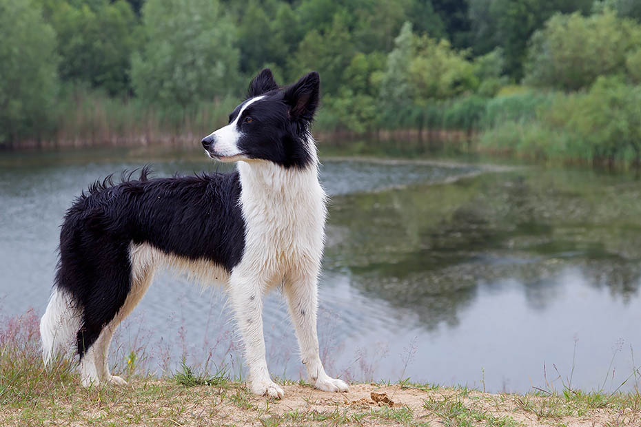 Border Collie, die Ohren koennen aufrecht stehen oder komplett herab haengen, Canis lupus familiaris, Border Collie, the ears are variable, some have fully erected ears or fully dropped ears