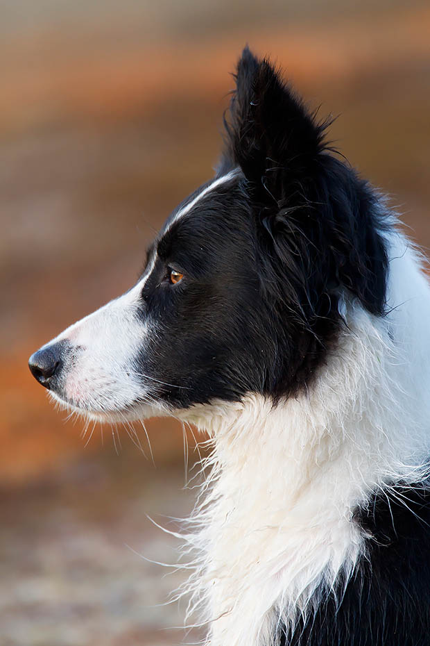Border Collie, die durchschnittliche Lebensdauer betraegt 10 bis 14 Jahre, Canis lupus familiaris, Border Collie, the natural life span is between 10 to 14 years