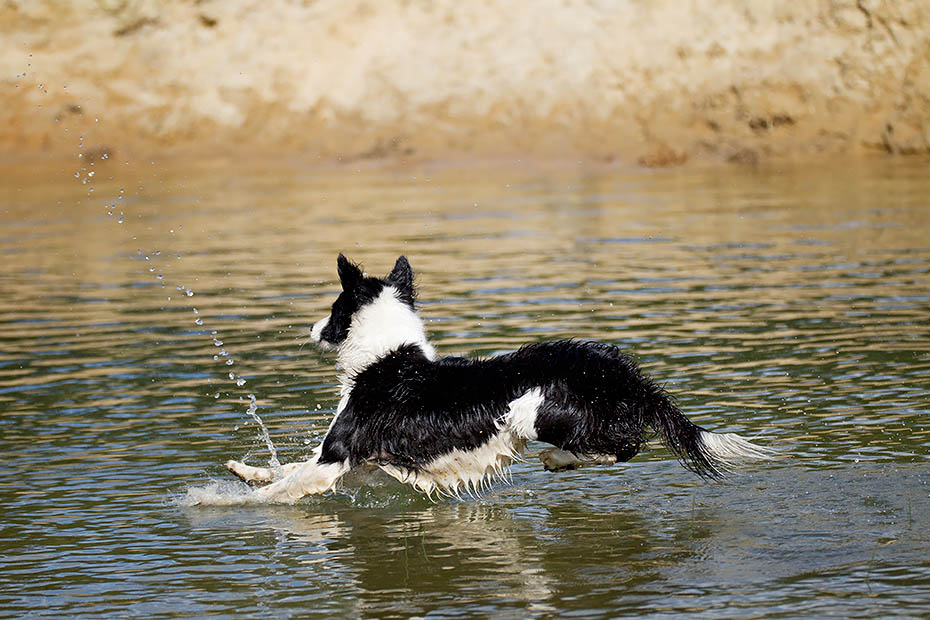Border Collie werden in der ganzen Welt als Huetehunde in der Nutztierhaltung eingesetzt, Canis lupus familiaris, Border Collie herding livestock throughout the world