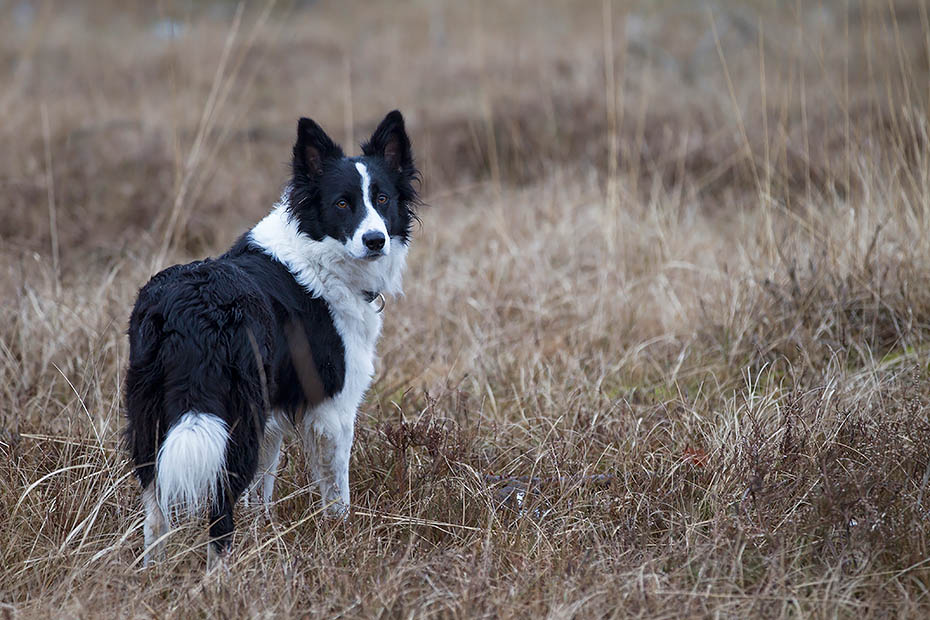 Border Collie, einige Exemplare tragen ein einfarbiges Fell, Canis lupus familiaris, Border Collie, some have single-colour coats