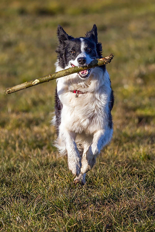 Border Collie wird oft als die intelligenteste aller Hunderassen bezeichnet, Canis lupus familiaris, Border Collie, they are often cited as the most intelligent of all domestic dogs