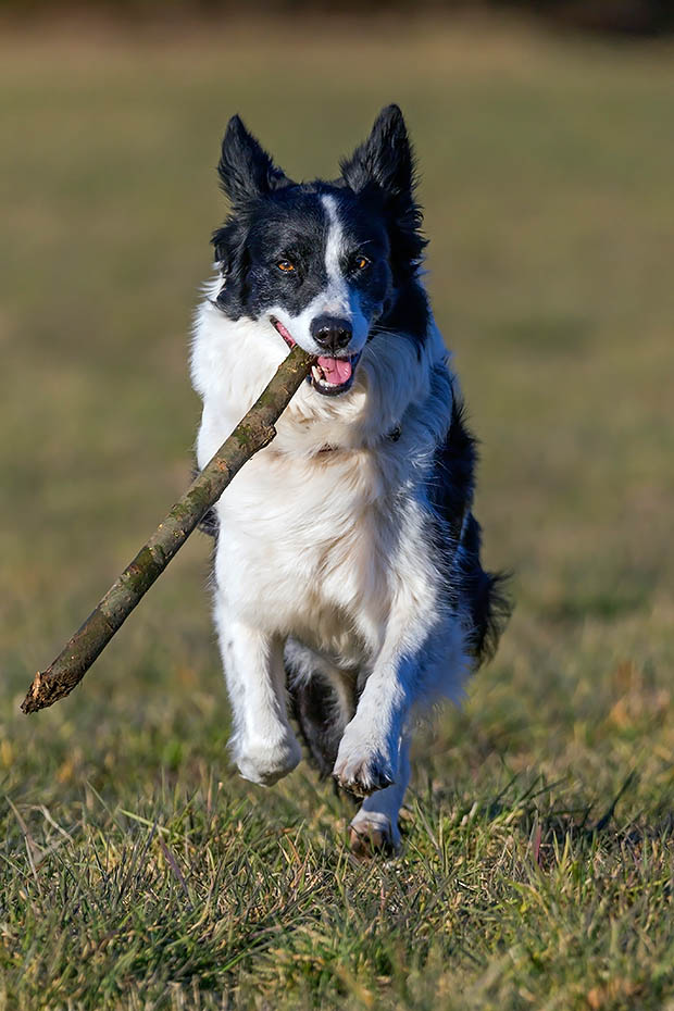 Border Collie ist eine aktiv selbststaendig arbeitende Huetehundrasse, Canis lupus familiaris, Border Collie is a working and herding dog breed