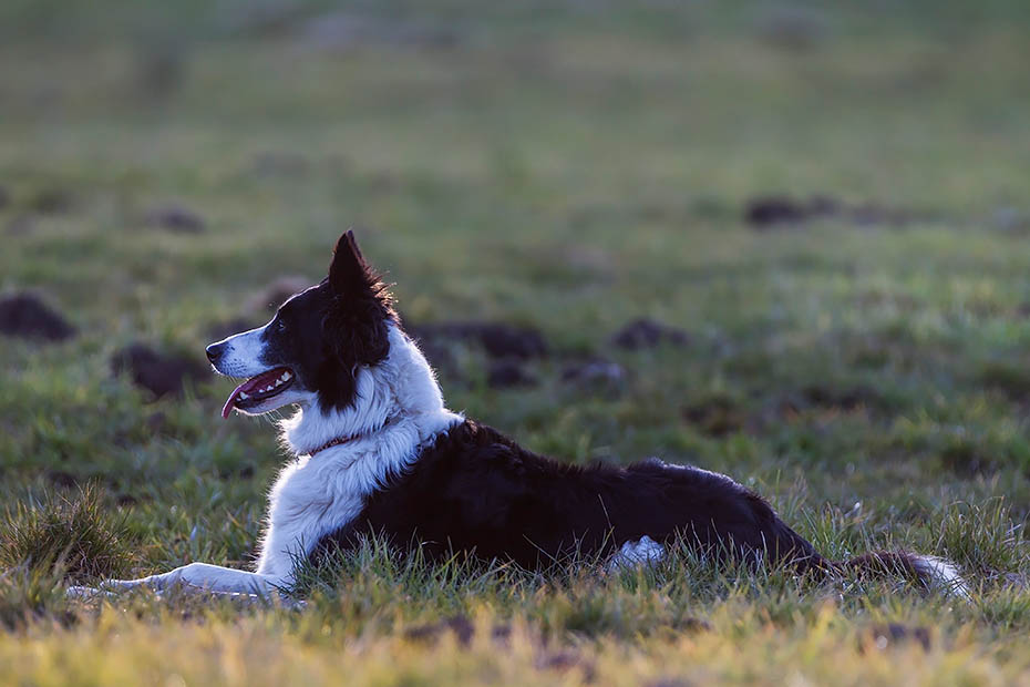 Border Collie wird als Huetehund in der Nutztierhaltung eingesetzt, insbesondere im Bereich der Schafhaltung, Canis lupus familiaris, Border Collie herding livestock, especially sheep