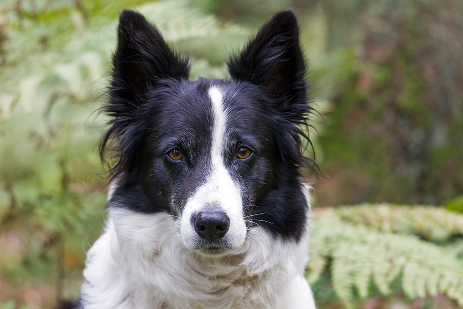 Border Collie, die Farbe der Augen variiert von braun bis blau  -  (Foto Portraet), Canis lupus familiaris, Border Collie, the eye colour varies from brown to blue  -  (Photo portrait)
