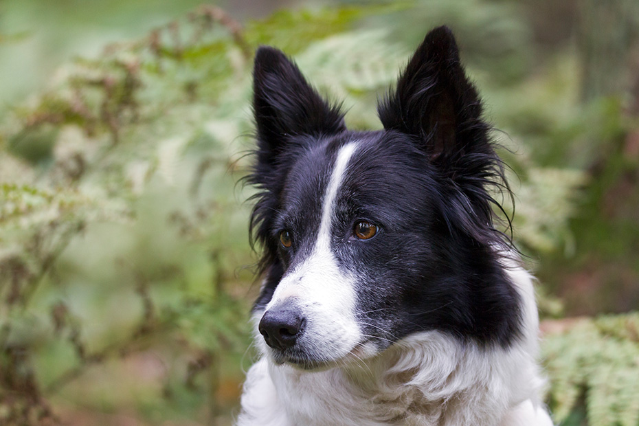Border Collie, es gibt 2 Fellvarianten, entweder mit weichen oder rauhen Fell  -  (Foto Portraet), Canis lupus familiaris, Border Collie have a double coat which varies from smooth to rough  -  (Photo portrait)