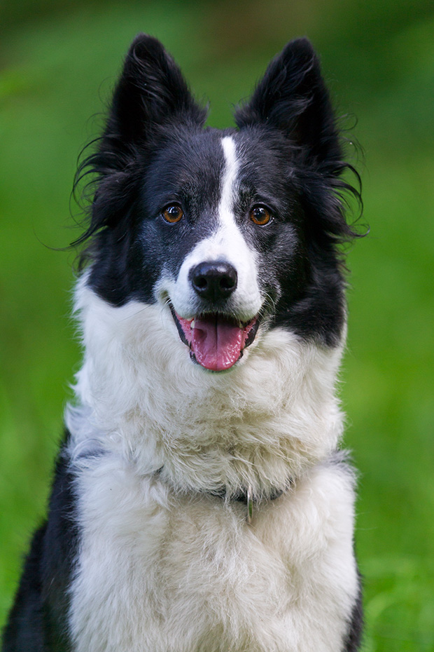 Border Collie, das Durchschnittsalter liegt bei 12 Jahren  -  (Foto Border Collie Portraetaufnahme), Canis lupus familiaris, Border Collie has an average lifespan of 12 years  -  (Photo Border Collie portrait)