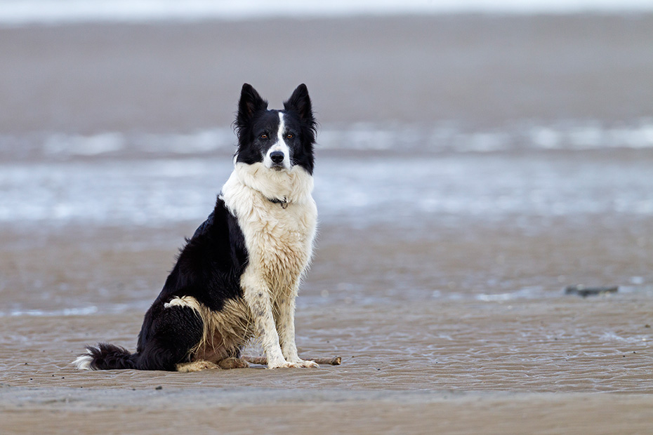 Border Collie, die Lebenserwartung betraegt 10 bis 14 Jahre  -  (Foto Border Collie im Watt an der Nordsee), Canis lupus familiaris, Border Collie, the natural life span is 10 to 14 years  -  (Photo Border Collie in the Wadden Sea on the German North Sea coast)