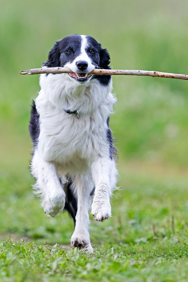 Border Collie apportiert einen Stock, Canis lupus familiaris, Border Collie brings a stick
