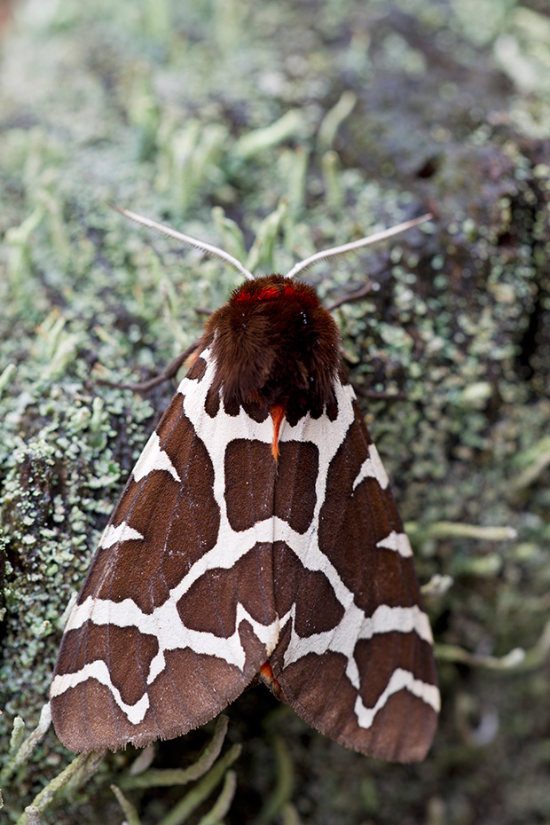 Brauner Baer ist in ganz Europa, in grossen Teilen Asiens und in Nordamerika verbreitet  -  (Gemeiner Baerenspinner - Foto Falter), Arctia caja, Garden Tiger Moth flies from June to August  -  (Great Tiger Moth - Photo imago)