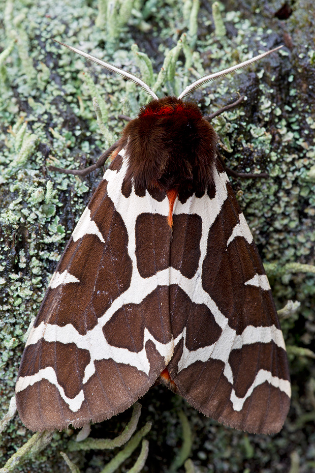 Brauner Baer, die Raupen haben viele Wirtspflanzen  -  (Gemeiner Baerenspinner - Foto Falter), Arctia caja, Garden Tiger Moth can be found throughout Europe - (Great Tiger Moth - Photo imago)