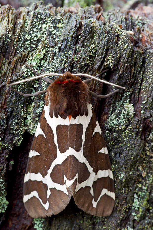 Brauner Baer ist ein nachtaktiver Falter  -  (Gemeiner Baerenspinner - Foto Falter), Arctia caja, Garden Tiger Moth is protected in the United Kingdom  -  (Great Tiger Moth - Photo imago)