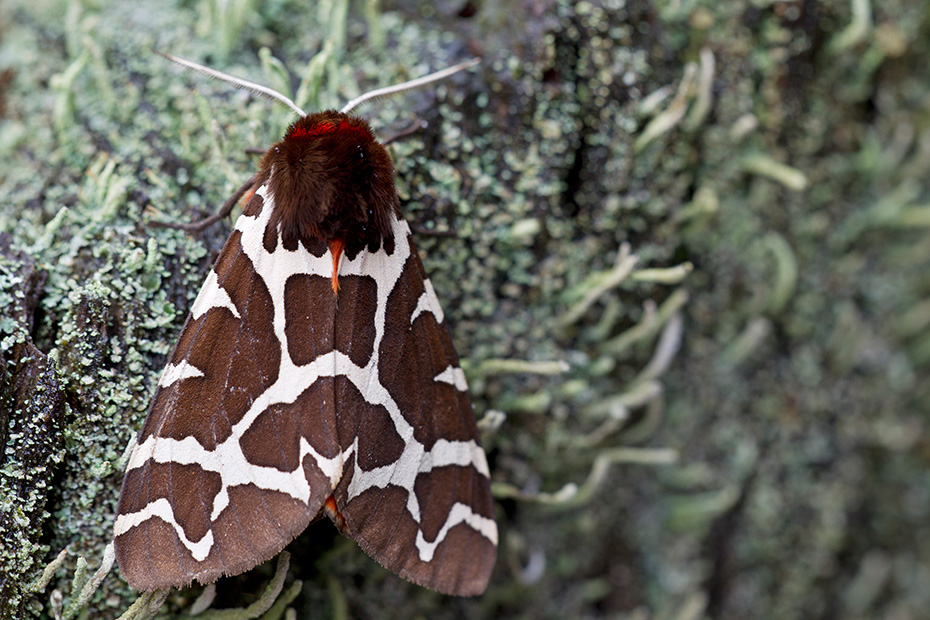 Brauner Baer, die Raupen stellen sich bei Gefahr tot  -  (Gemeiner Baerenspinner - Foto Falter), Arctia caja, Garden Tiger Moth flies from June to August  -  (Great Tiger Moth - Photo imago)