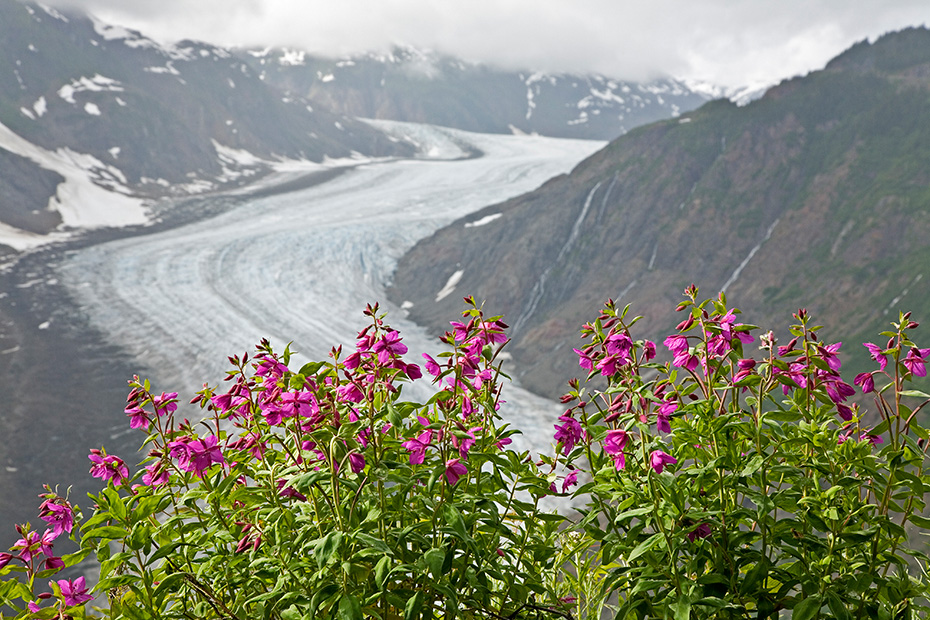 Arktische Weidenroeschen am Salmon-Gletscher, Salmon Gletscher  -  Misty Fjords National Monument, Dwarf Fireweed at Salmon-Glacier