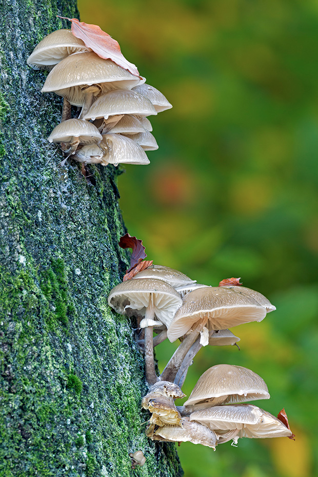 Buchen-Schleimruebling, das urspruengliche Verbreitungsgebiet sind weite Teile Europas, immer in Abhaengigkeit zum Vorkommen der Rotbuche, Oudemansiella mucida, Porcelain Fungus is native to Europe, and specific to beech wood  -  (Slimy Beech Fungus - Photo Porcelain Fungus on the trunk of a beech)