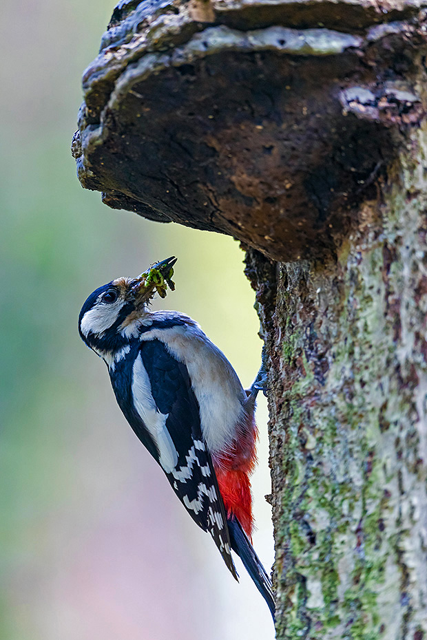 Buntspecht Weibchen mit Futter fuer die Jungvoegel an der Bruthoehle, die Hoehle liegt direkt unterhalb des Baumpilzes, Dendrocopus major, Great Spotted Woodpecker female with food for the young birds at the breeding burrow, the tree hole is directly below the polypore