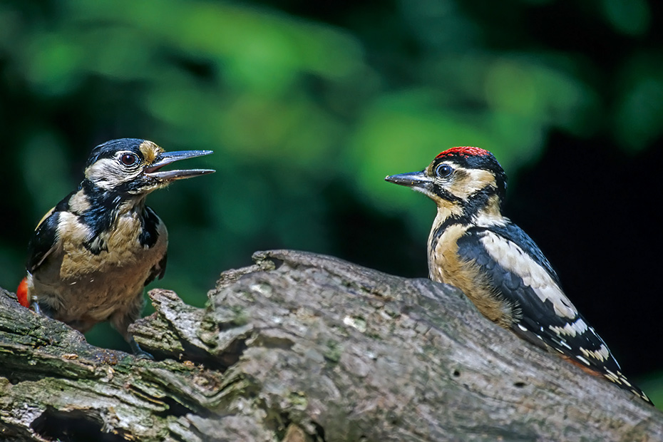 Buntspecht ist ein Hoehlenbrueter - (Foto Portraet vom Weibchen), Dendrocopus major - (Picoides major), Great Spotted Woodpecker is usually resident year-round - (Photo adult female)