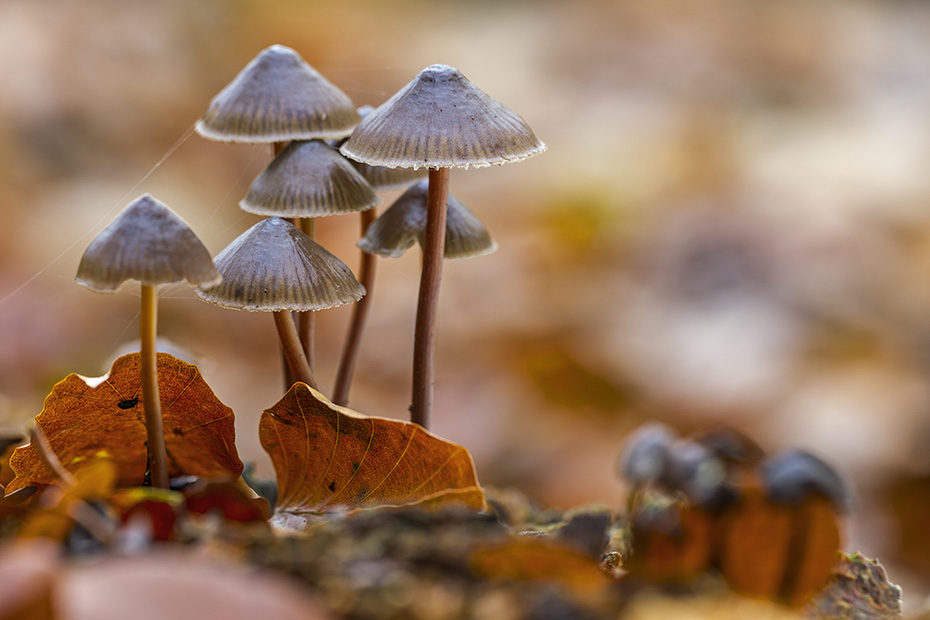 Buntstieliger Helmling, der empfindliche Stiel ist 3 - 9cm lang  -  (Foto Buntstielige Helmlinge auf einem sehr morschen Baumstumpf), Mycena inclinata