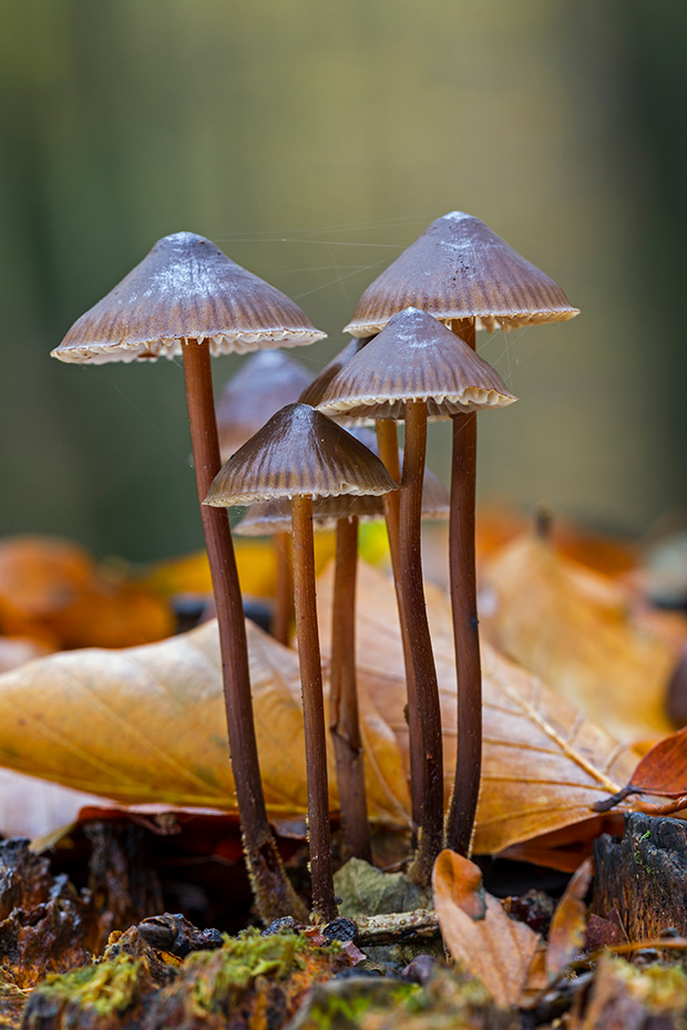 Buntstieliger Helmling, der Hutdurchmesser kann zwischen 1 - 4,5cm variieren  -  (Foto Buntstielige Helmlinge auf einem sehr morschen Baumstumpf), Mycena inclinata