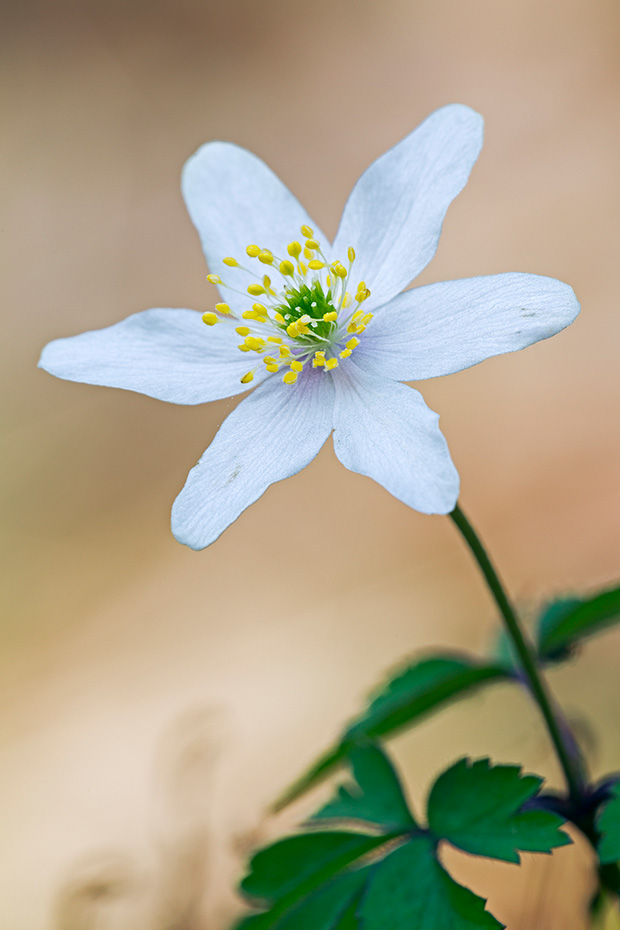 Buschwindroeschen erreichen Wuchshoehen von 10 - 25 cm  -  (Geissenbluemli - Foto Buschwindroeschen im Buchenwald), Anemone nemorosa, Wood Anemone is 10 to 25 cm tall  -  (Smell Fox - Photo Wood Anemone in a beech forest)
