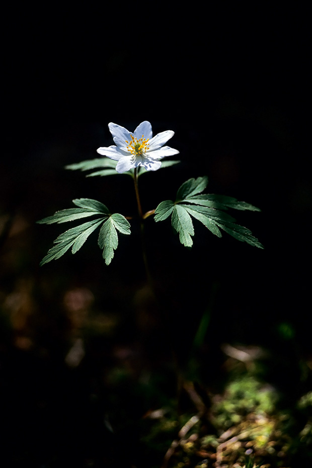 Buschwindroeschen, jede Blume hat gewoehnlich nur eine Bluete  -  (Augewurz - Foto Buschwindroeschen Bluetenteppich im Buchenwald), Anemone nemorosa, Wood Anemone has usually a solitary flower  -  (Thimbleweed - Photo Wood Anemone carpet in a beech forest)