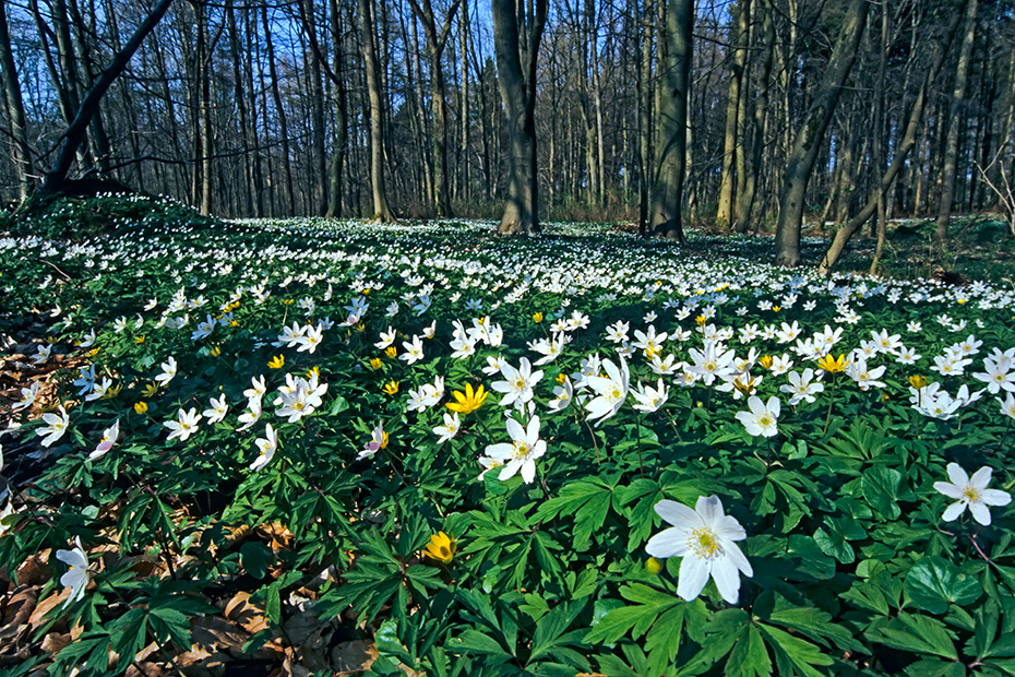 Buschwindroeschen sind giftig  -  (Schneekaterl - Foto Buschwindroeschen Bluete im Gegenlicht), Anemone nemorosa, Wood Anemone is a poisonous plant  -  (European Thimbleweed - Photo Wood Anemone contre-jour)